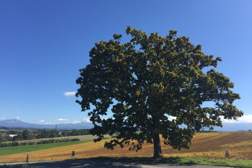 北海道 セブンスターの木
