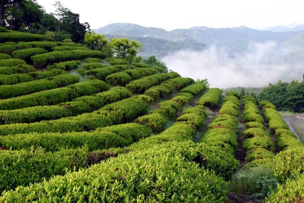 熊野古道 伏拝の茶畑  写真提供:熊野本宮観光協会