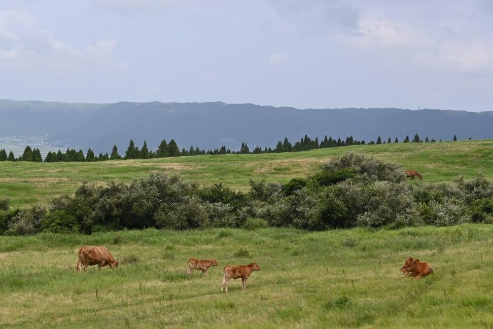 阿蘇 放牧の風景