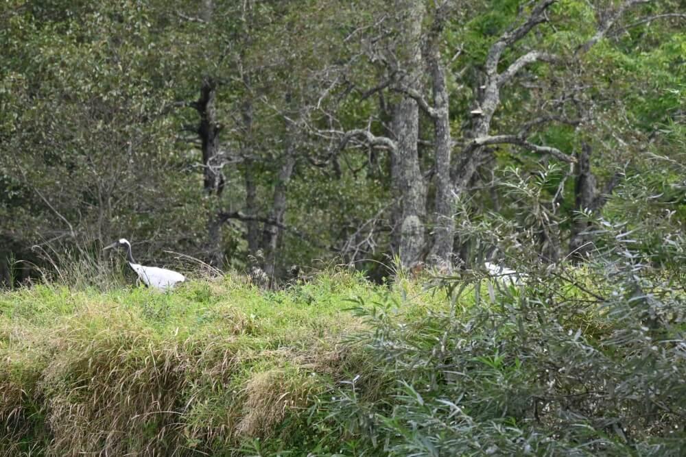 釧路湿原 タンチョウヅル