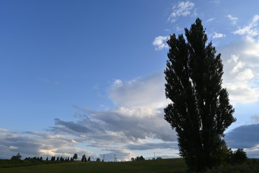 美瑛 ケントメリーの木