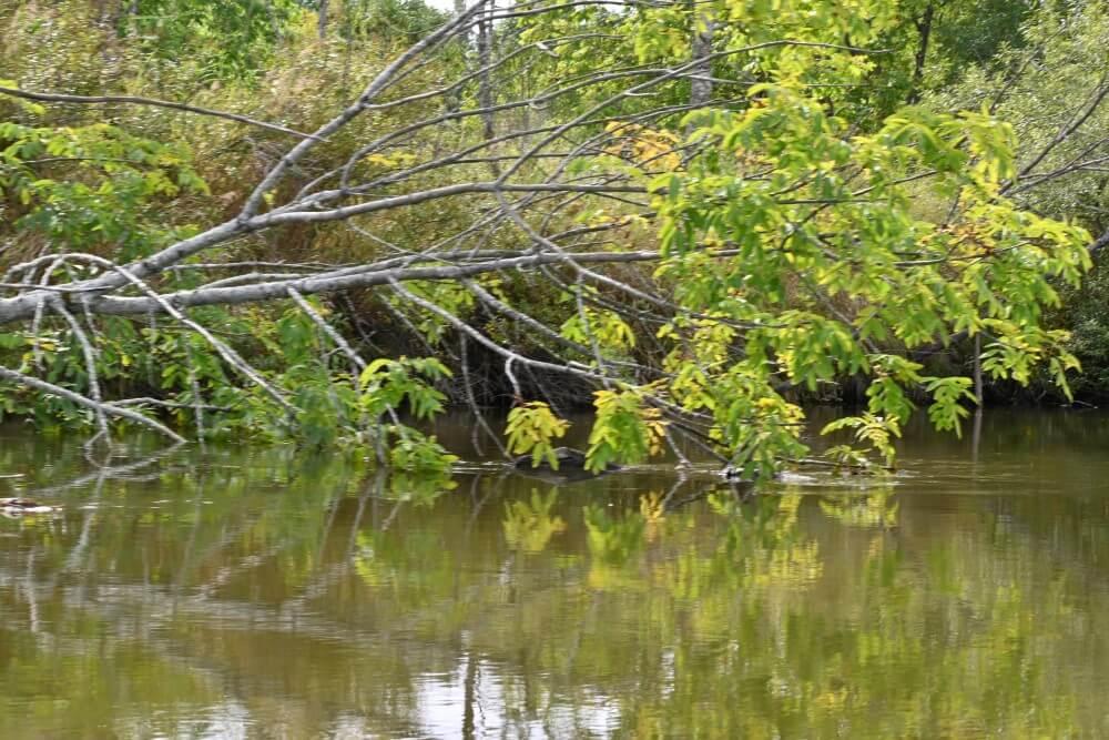 釧路湿原 倒れた木