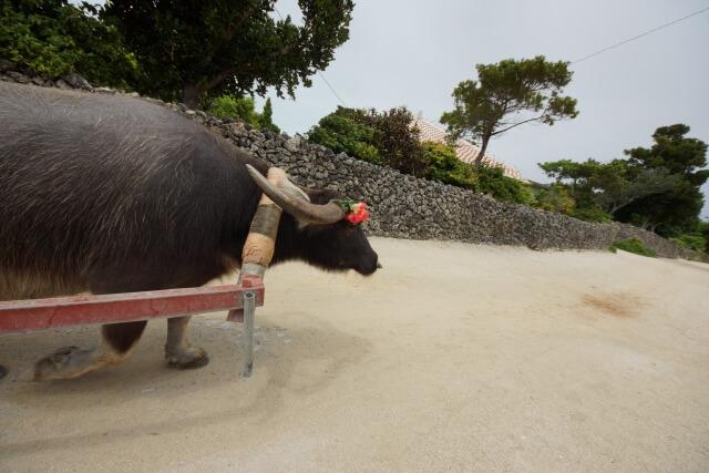 竹富島 水牛