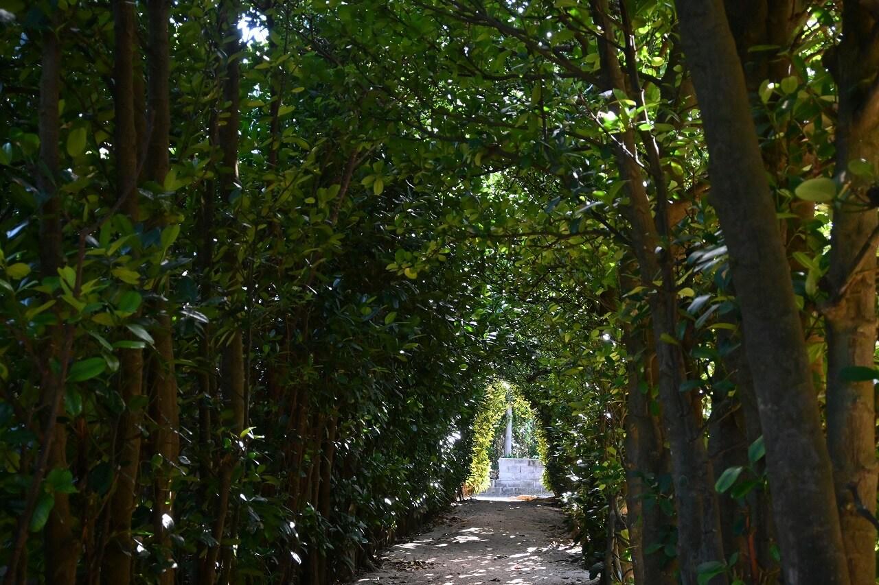 奄美大島 フクギ並木