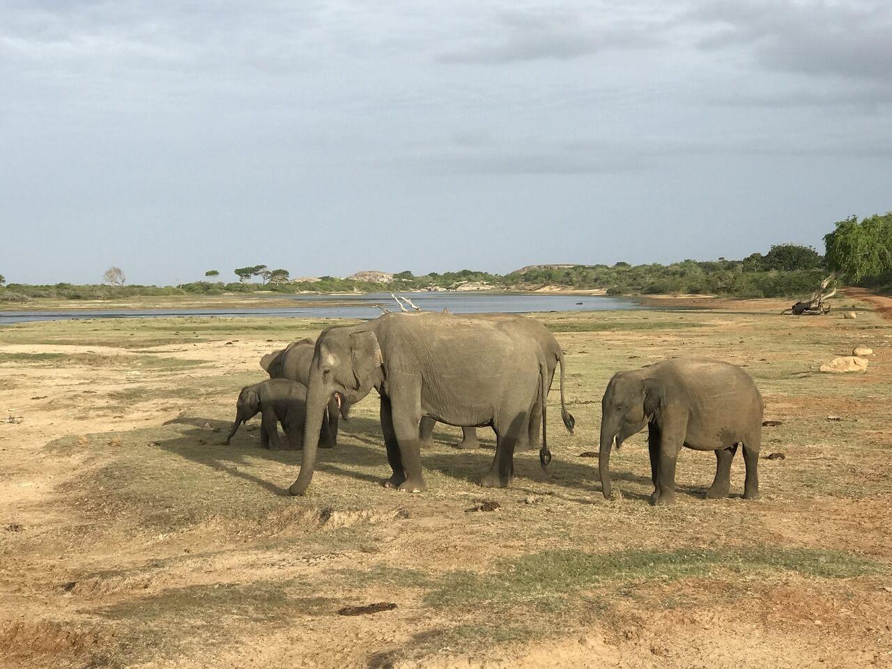 スリランカのサファリ 3象