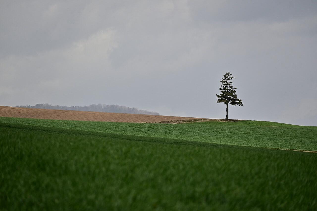 美瑛 名もない木